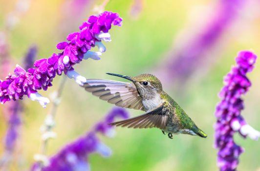 Фото бесплатно полёт, птица, колибри