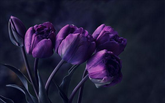 Фото бесплатно тюльпаны, фиолетовые, цветы