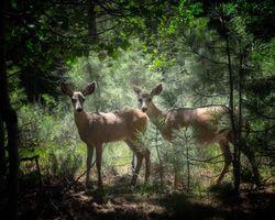 Фото бесплатно олени, лес, природа, животные, деревья, сосны, трава, листья
