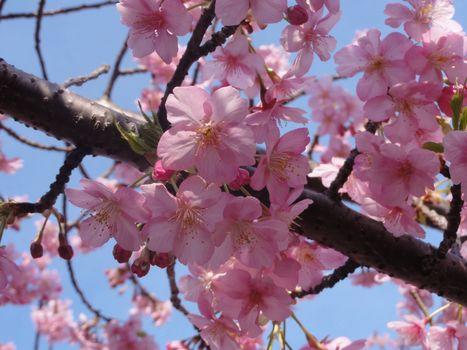 Photo free the flowering, flora, blooming tree