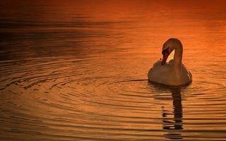 Бесплатные фото вечер,лебедь белый,клюв,шея,перья,водоем