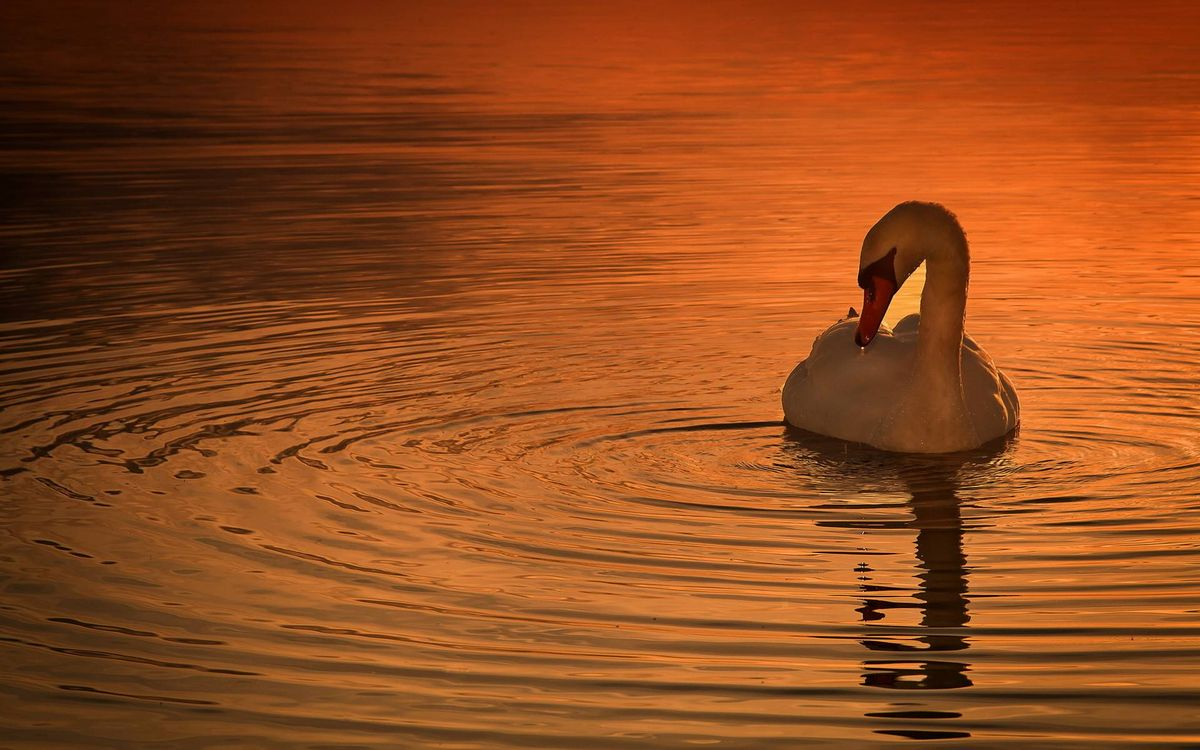 Free photo evening, white swan, beak - to desktop