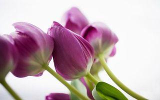Бесплатные фото тюльпаны, лепестки, бутоны, листья, стебли, зеленые