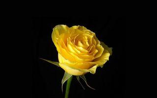 Бесплатные фото роза,лепестки,желтые,стебель,зеленый,фон черный