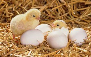 Фото бесплатно яйца, кур, лапки