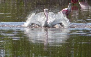 Photo free pond, pelican, wings