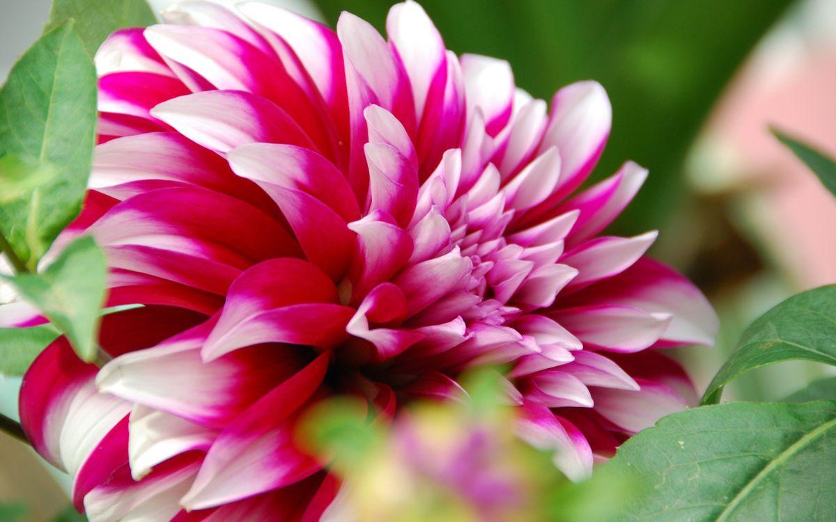 Фото бесплатно астра, лепестки, розовые, листья, зеленые, цветы