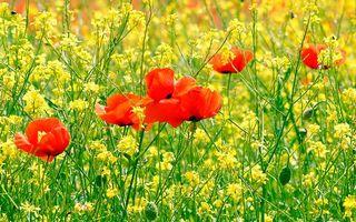 Бесплатные фото поле,трава,зеленая,цветы,маки,красные