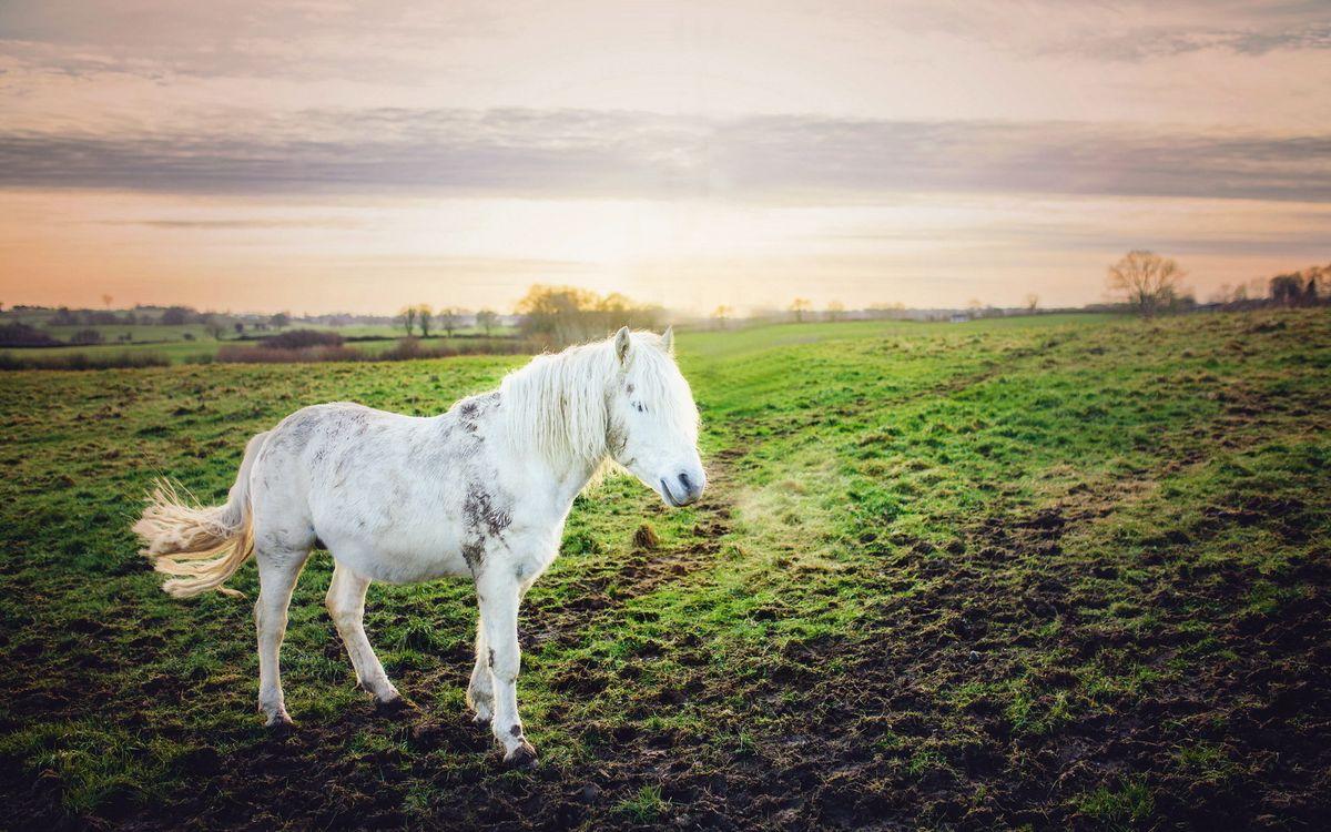 Картинка конь, лошадь, белая, морда, грива, хвост, поле, трава на рабочий стол. Скачать фото обои животные
