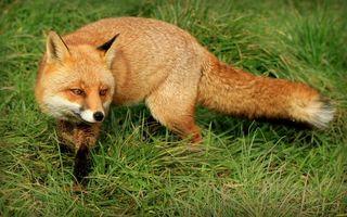 Бесплатные фото лиса,рыжая,морда,лапы,хвост,шерсть,трава
