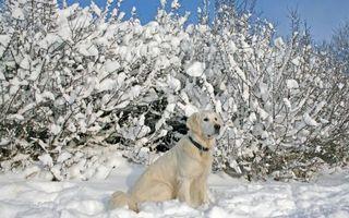 Фото бесплатно зима, лабрадор, морда