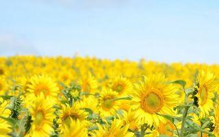 Фото бесплатно поле, подсолнухи, лепестки