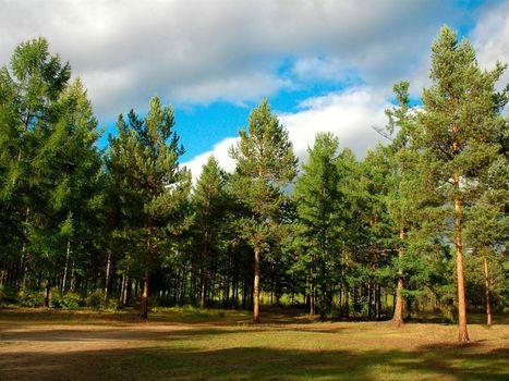 Photo free boron, pine, glade