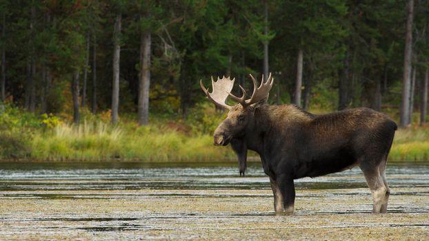 Фото бесплатно лось, рога, борода
