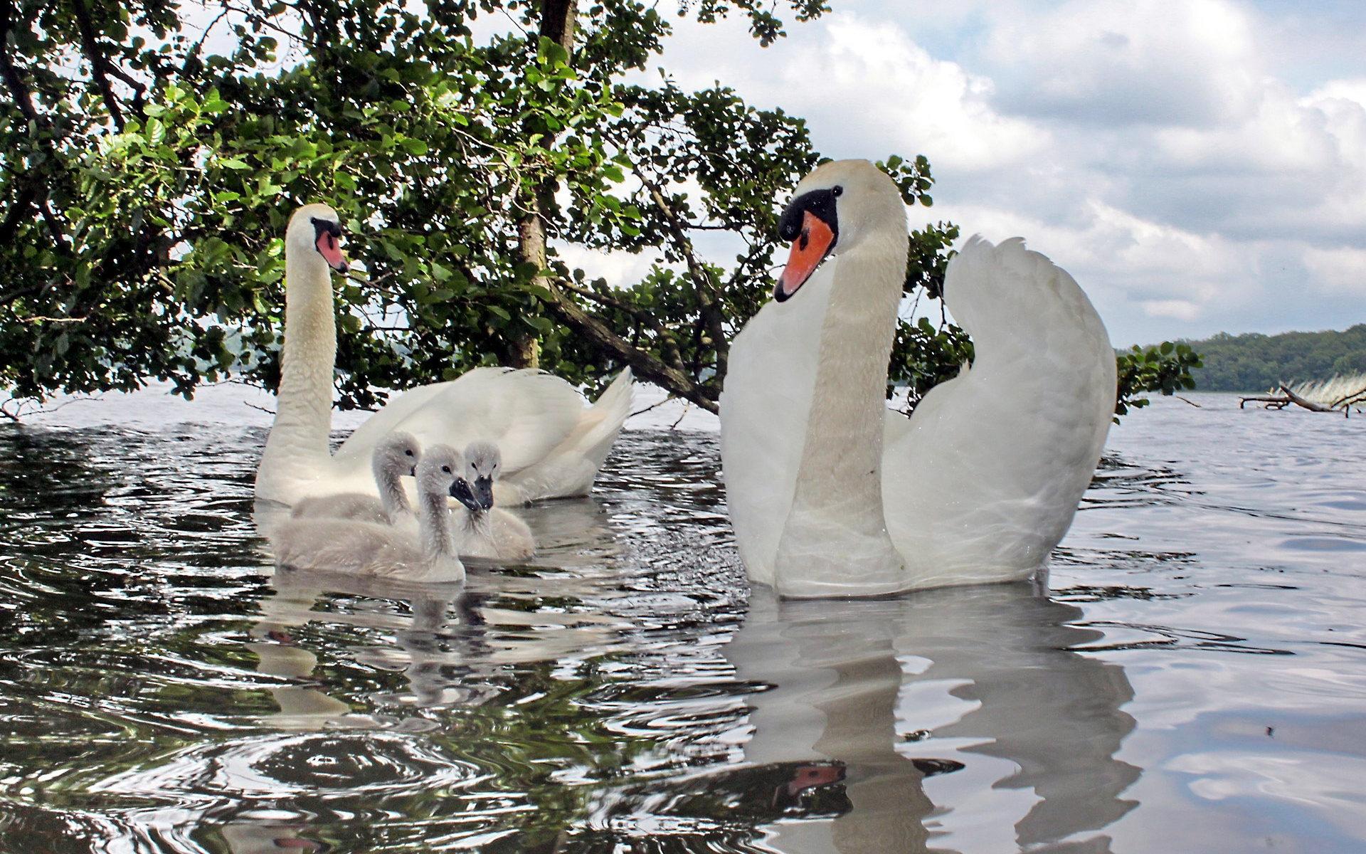 сети самые красивые фото пары лебеди алюминия стало правильным