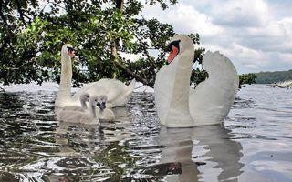 Бесплатные фото озеро, деревья, лебеди, птенцы, клювы, перья