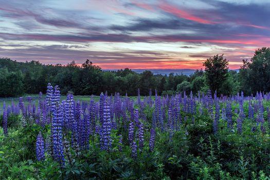 Фото бесплатно пейзаж, цветы, люпин
