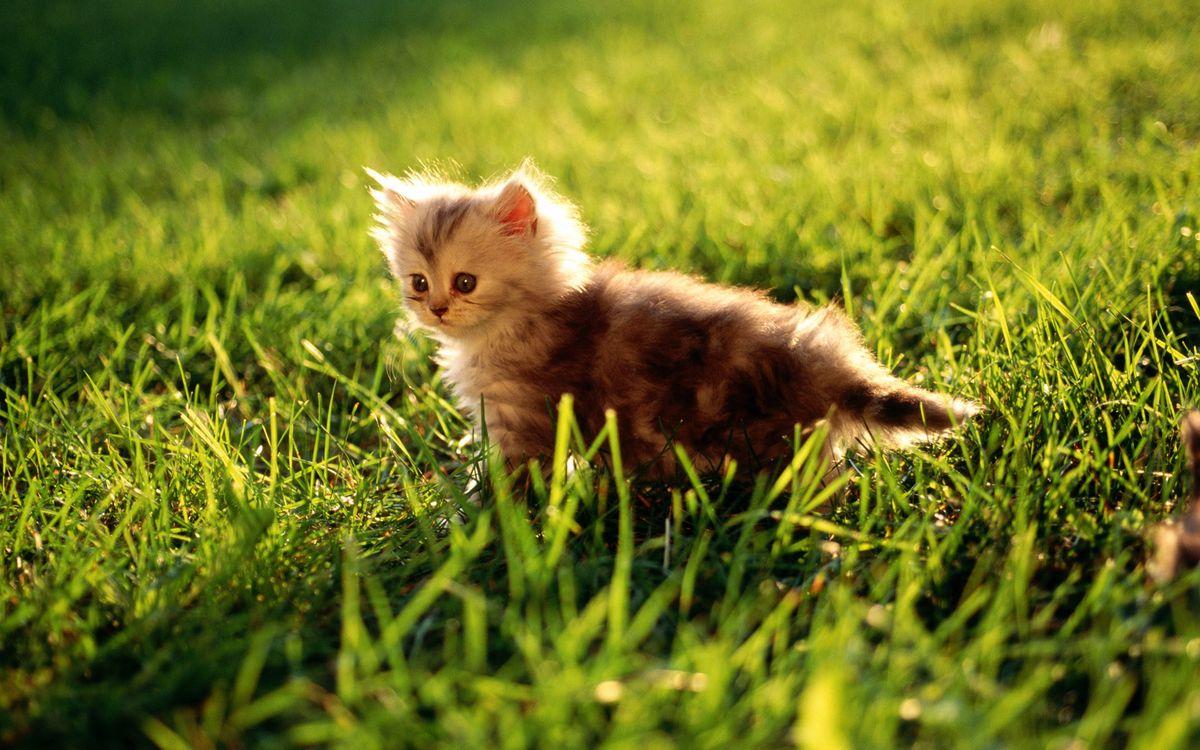 Фото бесплатно котенок, пушистый, морда, лапы, хвост, трава, кошки