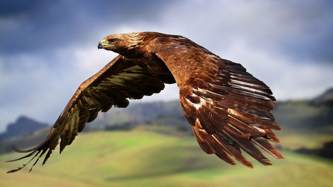 Фото бесплатно орел, клюв, крылья, перья, полет, птицы