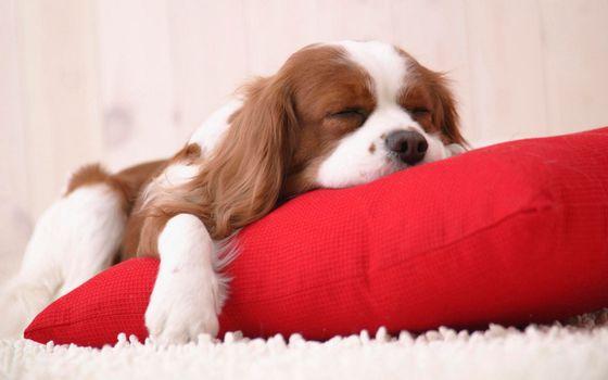 Заставки песик, спаниель, спит