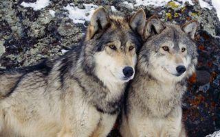 Бесплатные фото волки,пара,морды,шерсть,камень,снег
