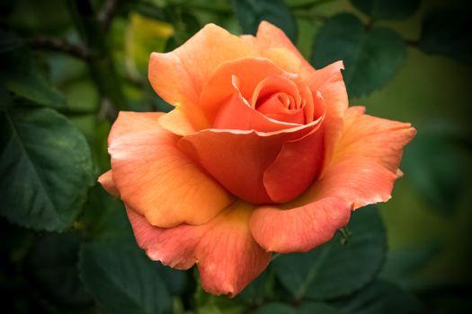 Фото бесплатно цветы, бутон розы, одинокая роза