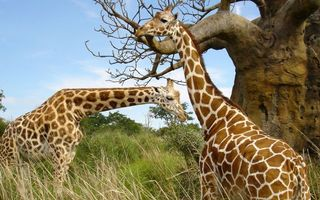 Фото бесплатно жирафы, морды, шеи