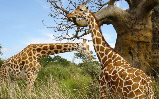 Photo free giraffes, muzzles, necks