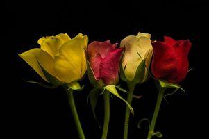 Фото бесплатно роза, чёрный фон, цветы