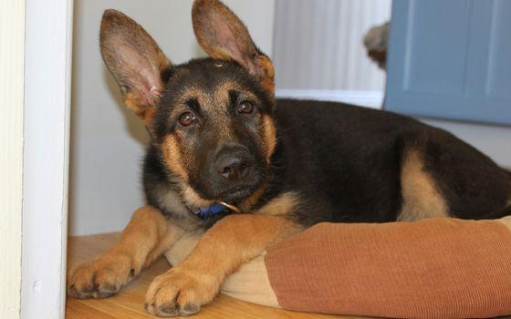 Фото бесплатно собака, кавказец, лежит