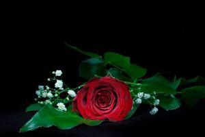Бесплатные фото роза, цветок, чёрный фон, флора