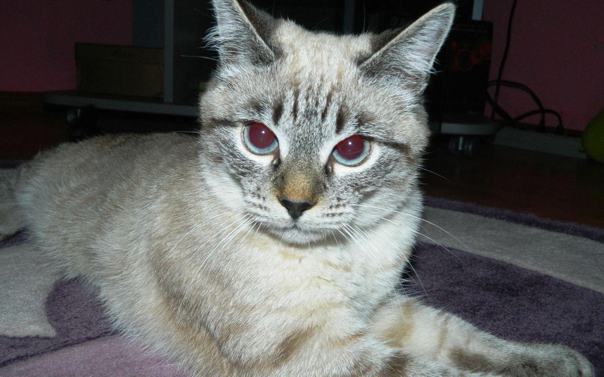 Фото бесплатно палас, кот, морда, глаза, голубые, лапы, шерсть, кошки