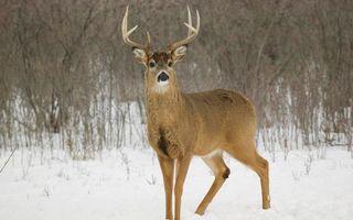 Бесплатные фото олень,рога,морда,шерсть,зима,снег,кустарник