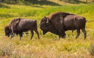 Фото бесплатно зубры, бизоны, рога