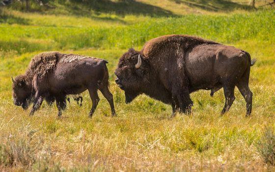 Photo free bison, horns, wool