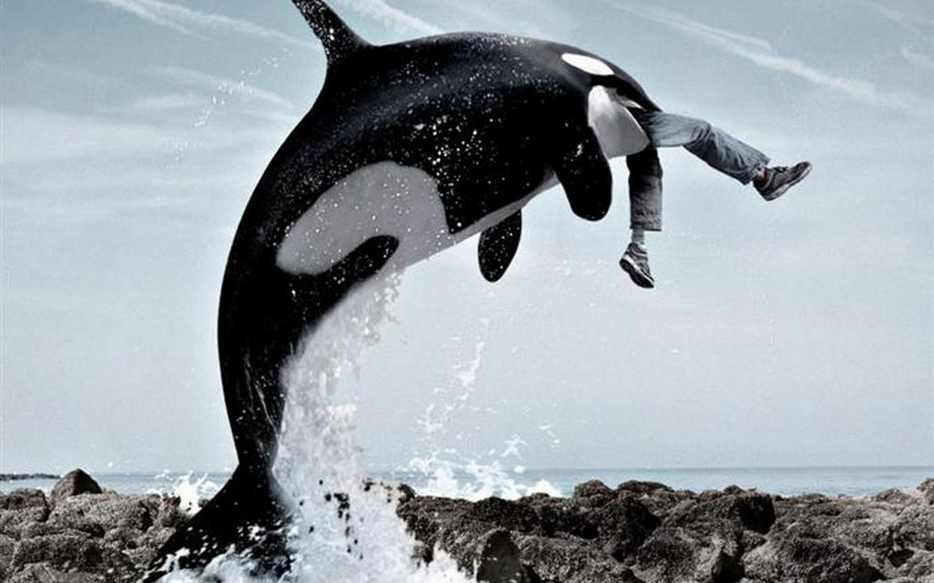Обои кит, касатка, слопал человека, пасть