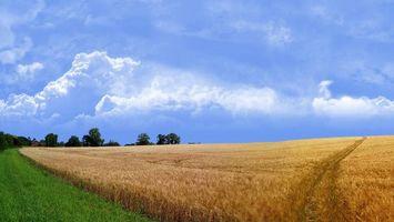 Бесплатные фото поле,пшеница,колосья,следы,трава,деревья,небо