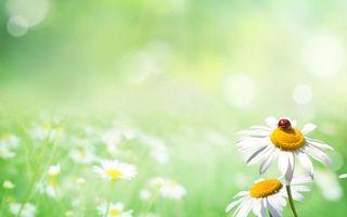 Бесплатные фото поле,ромашки,лепестки,белые,божья коровка,красная