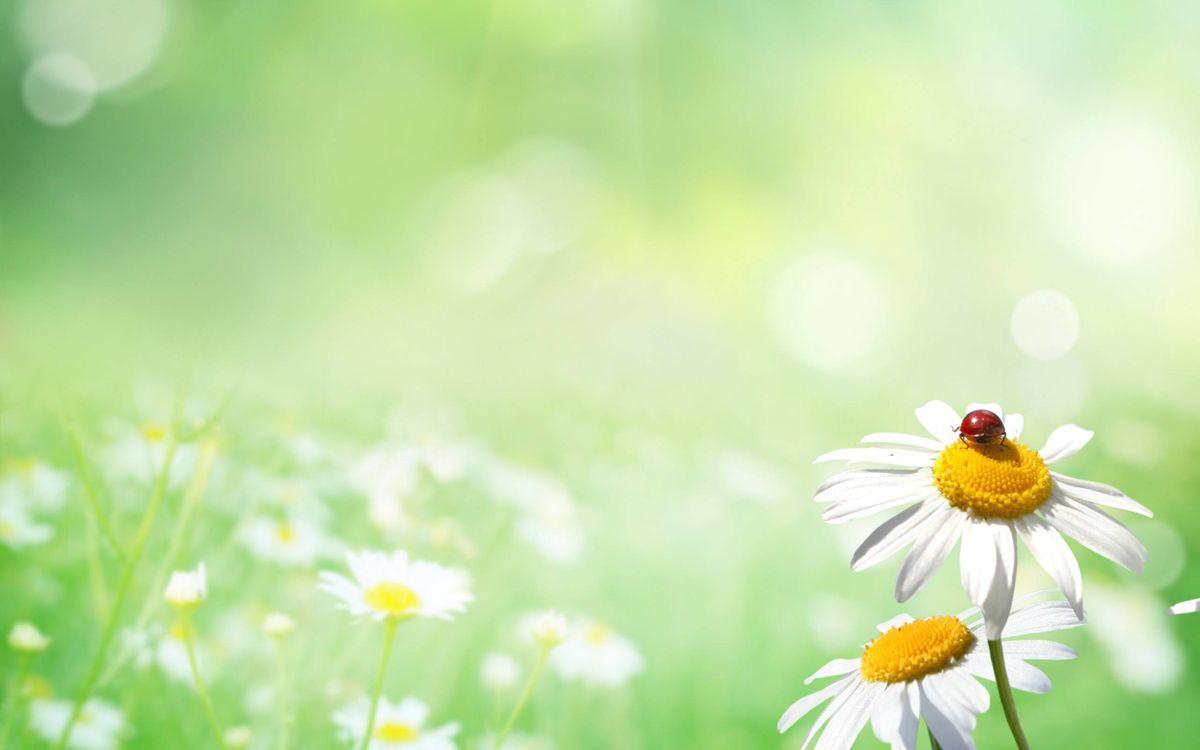 Фото бесплатно поле, ромашки, лепестки, белые, божья коровка, красная, природа