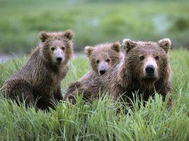Бесплатные фото медведь,медвежата,травка