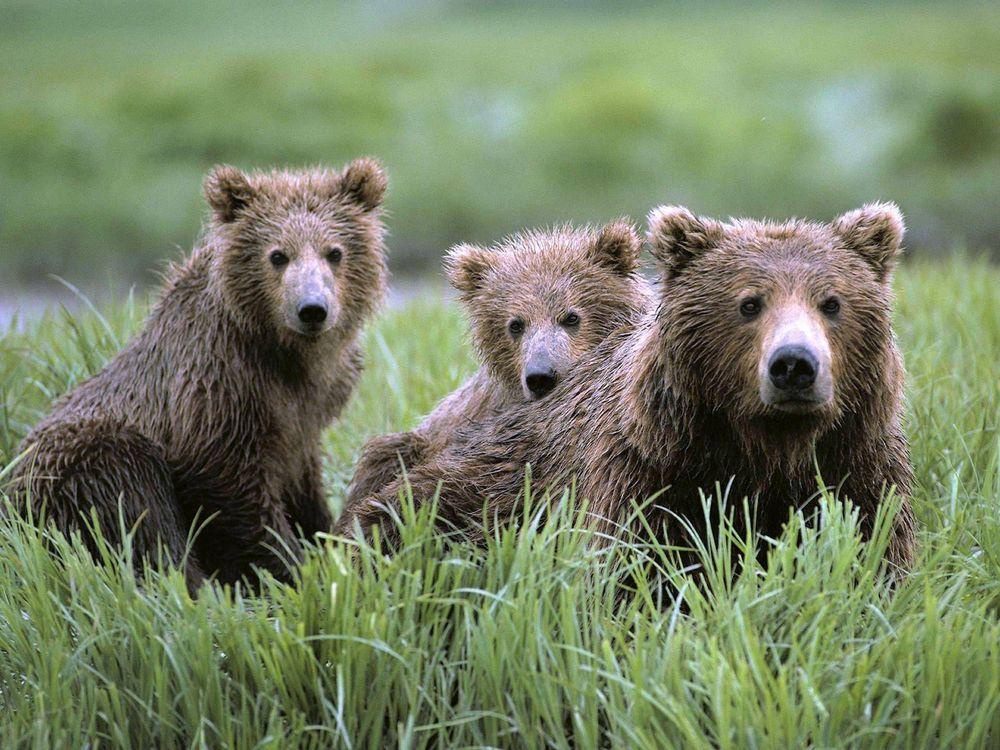 Фото бесплатно медведь, медвежата, травка, животные
