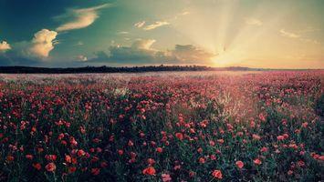 Фото бесплатно поле, цветы, маки, красные, деревья, небо, солнце, закат