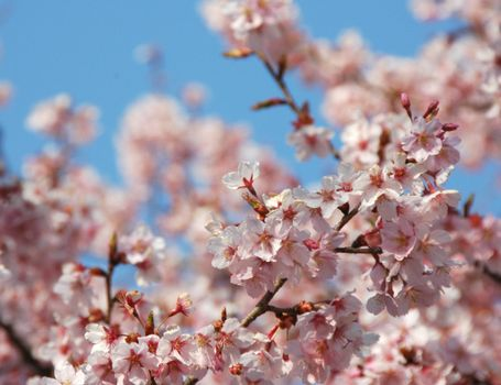 Photo free cherry blossoms, branch, sakura branches
