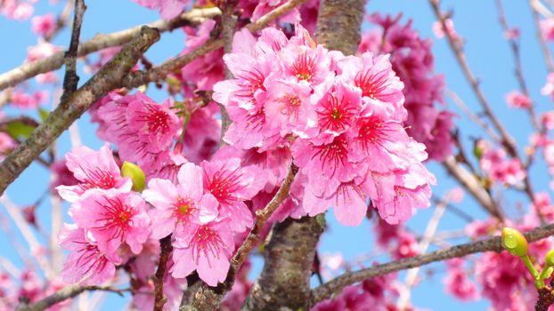 Photo free sakura branches, small flowers, pink flowers
