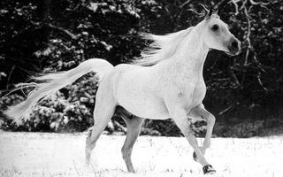 Обои конь, морда, грива, хвост, бег, снег, черно-белое