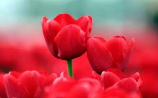 Бесплатные фото клумба,тюльпаны,стебель,зеленый,лепестки,красные