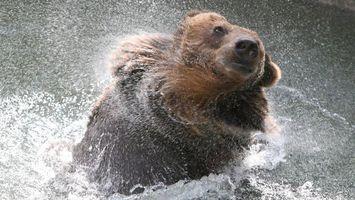 Бесплатные фото медведь бурый,морда,шерсть,брызги,река