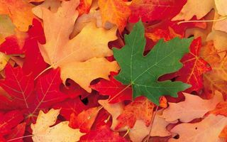 Заставки осень,листья,клен,разноцветные,прожилки,заставка