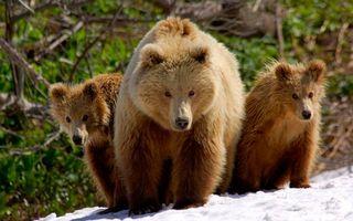 Бесплатные фото медведи,бурые,медвежата,семья,морды,лапы,шерсть