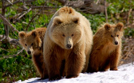 Photo free bears, brown, bear cubs